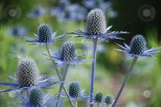 Blue Thistle (Eryngium x oliverianum) stock photo Wonderland Events, Winter Wonderland, Large Flowers, Fresh Flowers, Sea Holly, Blue Leaves, Garden Plants, Perennials, Wedding Flowers