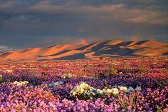 Distant Rainbow And Wildflower Field, Dumont Dunes, Mojave Desert, California, USA - Canvas Print Desert Art, Desert Life, Desert Flowers, Wild Flowers, Dumont Dunes, Canvas Art Prints, Canvas Wall Art, Mojave Desert, Teaching Art
