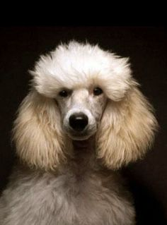 ♔ French poodles are very active, extremely intelligent, elegant and are easily trained