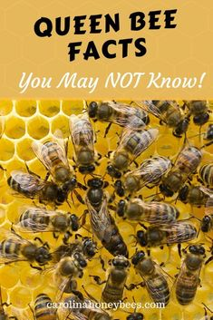 Queen bees facts that may amaze you. Learn more about the most important bee in the colony. #bees #beekeeping #queenbee