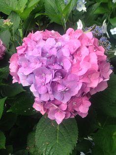 Hortênsia em coração .. Rosa e roxa *.*