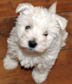 OMG! It's a cotton ball!! Bahaha! Madison, the West Highland Terrier, ladies and gentlemen!
