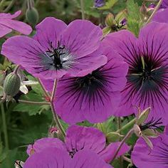 "Dragon Heart: Large hardy Geranium stands 2' tall with 2"" wide flowers that bloom most of the summer. Zones 5-8, Full sun to part shade"