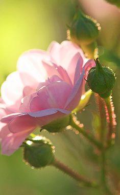 .pink rose
