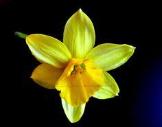 Framed or Unframed Yellow Dafodil Flower by LifeImagesByTeresaMc
