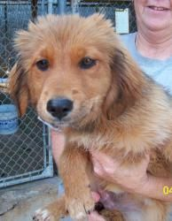 Cassie has been adopted! Cassie is an adoptable Golden Retriever Dog in Brookfield, WI. Cassie is approximately 4-5 months old. She is new to rescue, so please watch for updates. Adoption fee $400 Adoption fees for all dogs/p...