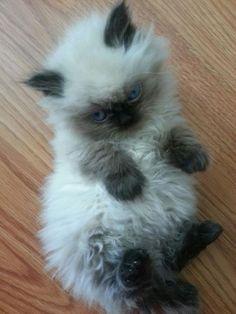 Rag doll kitten