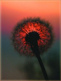 dandelion sunset~make a wish Pretty Pictures, Cool Photos, Fuerza Natural, Fotografia Macro, Dandelion Wish, All Nature, Belleza Natural, Make A Wish, Belle Photo