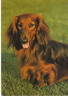 Vintage Postcard Red Longhair Dachshund Outdoors in Grass Continental Dog Card | eBay