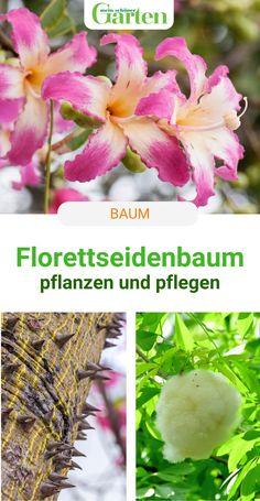 """""""Wintermagnolie"""" nennt man den Florettseidenbaum, eine Kübelpflanze aus den Subtropen, wegen der pinkfarbenen, orchideenähnlichen Blüten auch. Wenn ihr diese Tipps zur Pflege beachtet, fühlt sich der Baum im Topf rundum wohl. #baum #florettseidenbaum #blueten #meinschoenergarten Vegetables, Orchids, Silk, Tree Structure, Nursing Care, Tips, Nice Asses, Vegetable Recipes, Veggies"""