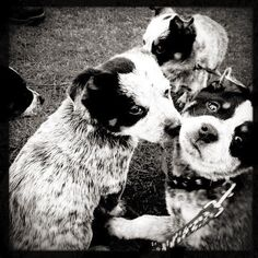 A plethora of Australian Blue Heeler puppies at Kits beach. Puppies Vancouver 8 weeks old! Come meet