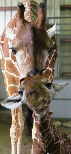 Jacksonville Zoo's new giraffe