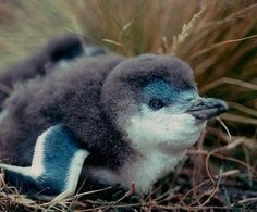 321370_522667867763928_686068573_n.jpg (403×333) #penguin
