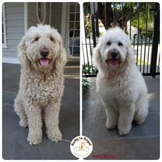 6 years young Standard Groodle Deedee is just such a sweet heart  🤗 and a very, very gentle girl!  🐶 🍀 Tidy Up + De-matting. Ratty to Regal - Professional Dog Grooming Service in Bicton with Lots of Love, Care, Patience and Treats:) Mob.: 04 02 761153 Ula Facebook: https://www.facebook.com/rattytoregal/  Website: https://rattytoregal.wixsite.com/rattytoregal