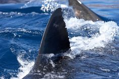 Great white shark, dorsal fin extended out of the water as it swims near the surface. Guadalupe Island (Isla Guadalupe), Baja California, Mexico, Carcharodon carcharias, natural history stock photograph, photo id 21353