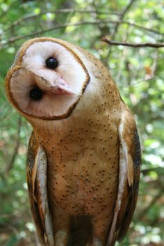 """""""Willow,"""" a Barn Owl and member of Carolina Raptor Center's flight team. Photo by Grace Croonenbergh."""