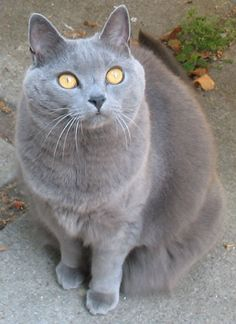 Chartreux:   Douglas Edwards    This large cat breed is muscular with short limbs and big paws. The head is rounded with a long, tapered muzzle. This gives them a smiling expression.