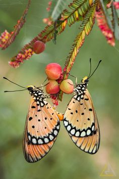 ~~Lover - butterflies by Lo Ma~~