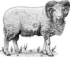 Google Image Result for http://www.inkart.net/illustration/domestic_animals/cotswold_sheep/cotswold_sheep_large.gif