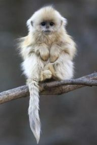 baby golden snub-nosed monkey. oh my gosh can i have this monkey!