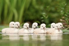 Baby animals are so cute. They're furry, they're cute, and they're wild. Here you can find amazing pictures of little cute animals that'll make you say So Cute Baby, Cute Babies, Baby Animals Pictures, Cute Baby Animals, Animal Pics, Beautiful Birds, Animals Beautiful, Newborn Animals, Baby Swan