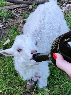 Charm our baby goat (goat milk in a champagne bottle).