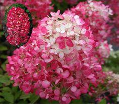 "Hydrangea paniculata ""Diamant Rouge"" |"