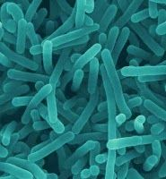 """""""Listeria"""" is a bacterial genus that contains 7 species. Named after the English pioneer of sterile surgery Joseph Lister, genus received its current name in 1940. Listeria species are Gram-positive bacilli. The major human pathogen in the Listeria genus is """"L. monocytogenes."""" Causative agent of relatively rare bacterial disease, listeriosis, a serious infection caused by eating food contaminated with bacteria. Disease affects primarily pregnant women, newborns, adults with weakened immunity."""""""