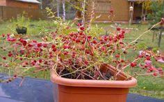 Jahodový špenát – znáte ho?