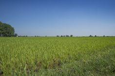 #Foto del giorno: #risaia presso #Belgioioso (#Pavia) #Bioetico.net