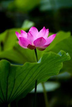 lotus by Haiwei Hu on 500px