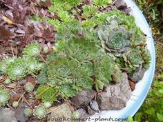 Satellite dishes are constantly getting sent to the landfill - do your part, divert them from the waste stream - plant with Sempervivum! Succulent Gardening, Planting Succulents, Container Gardening, Satellite Dish, Garden Projects, Garden Ideas, Drought Tolerant Plants, Garden Art, Outdoor Gardens