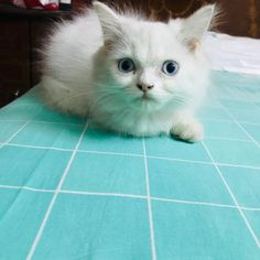 If you are looking for this breed, check the cat for sale in Bangalore. They have some of the great quality of Persian cats which are in their great health. Persian Cats For Sale, Kitten For Sale, In Mumbai, Best Relationship, Doll Face, Things To Know, Cats And Kittens, Cat Lovers, Exotic