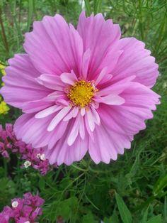 Beautiful Rose Flowers, Happy Flowers, Amazing Flowers, Beautiful Gardens, Cosmos Flowers, Lilac Flowers, Spring Flowers, Coreopsis Flower, Color Wallpaper Iphone