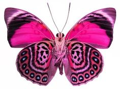 Fantasy Pink butterfly