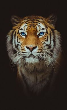 Big cats - Beautiful blue eyed tiger. - Black background.