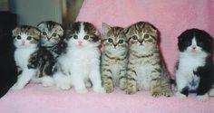 Scottish Fold kittens Tiny Kitten, Little Kittens, Kittens Cutest, I Love Cats, Crazy Cats, Scottish Fold Kittens, Funny Cat Pictures, Funny Cute, Fur Babies