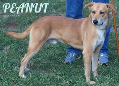 27535 PEANUT is currently in the PRISON PUP Program Yellow Labrador Retriever Mix • Young • Male • Large Friends of the Animal Shelter of St...
