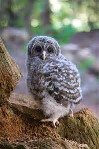 Owlets, Owl Chicks, Baby Owls
