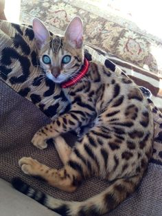 If I wasn't allergic to cats I would have a Bengal cat! Cute Cats And Kittens, Cool Cats, Kittens Cutest, Pretty Cats, Beautiful Cats, Animals Beautiful, Pretty Kitty, Cute Baby Animals, Animals And Pets