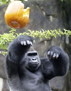 Jomo, a silverback gorilla, throws a Halloween pumpkin, Thursday, Oct. 3, 2013, at the Cincinnati Zoo in Cincinnati. The gorillas were enjoying the zoo's annual Pumpkin Hunt where they fill pumpkins with treats, such as granola, raisins, sunflower seeds, peanuts, grapes, popcorn and apples. (AP Photo/Al Behrman)