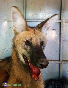 UNAIENSES: BRASÍLIA-DF - Lobo-guará é capturado após ser 'per...