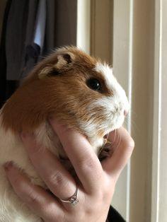Hi, Complementary feed for guinea pigs. https://www.marshallspetzone.com/small-animal/4795-versele-laga-oropharma-c-vit-50ml.html
