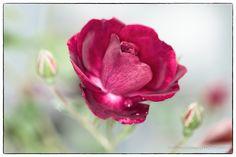 Rose_GD_0048.JPG