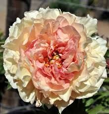 Image result for peony canary brilliants