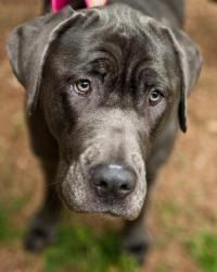 Sophia is an adoptable Great Dane Dog in Huntersville, NC. Please contact Great Dane Friends ( greatdanefriend@yahoo.com ) for more information about this pet. Sophia is an approximately 2 year old It...