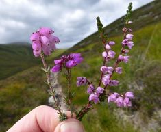Bell Heather ✿༺ Loch Turret, Perthshire, Scotland. Three Scottish Heathers. Left to right, Cross-Leaved Heather, Bell Heather, Common Heather.