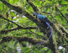 Quetzal azul