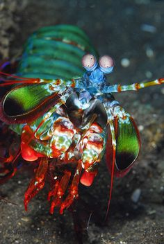 Harlequin Mantis Shrimp~ The mantis shrimp has one of the most elaborate visual systems ever discovered. It moves so quickly that the water around it boils (this is called supercavitation). They also pack a serious punch that sends out shock waves through the water. These shock waves have been known to shatter aquarium glass. by rinjani