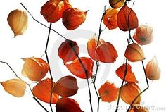 A detailed view of red garden plants called Chinese lanterns or physalis.  Isolated on white background.